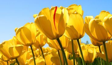reg5ch58_400x400_tulips_0000_reg5ch58_tulips
